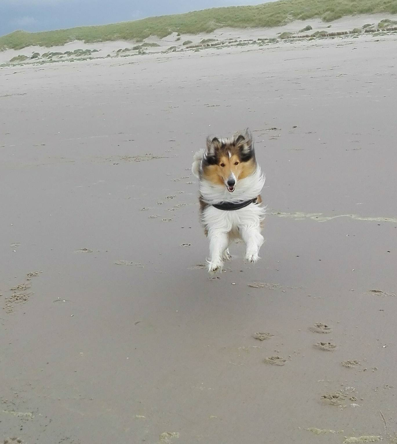 Fliegender Collie am Strand